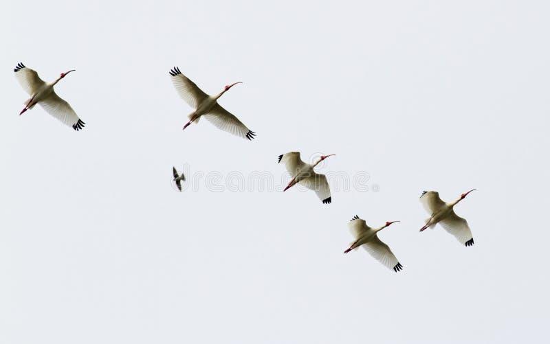 Troupeau blanc américain d'IBIS en vol image stock