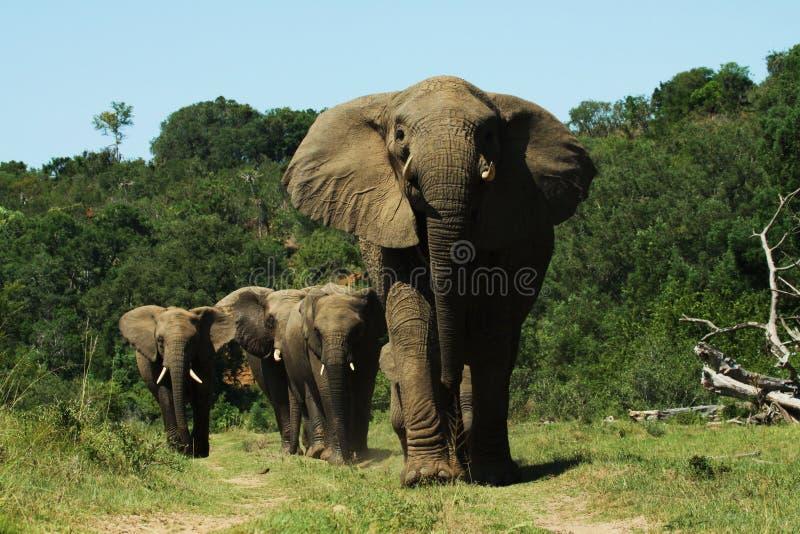 Troupeau d'éléphant photo libre de droits