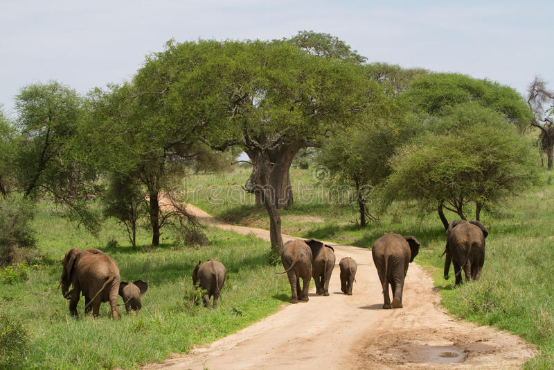 Troupeau d'éléphant images libres de droits