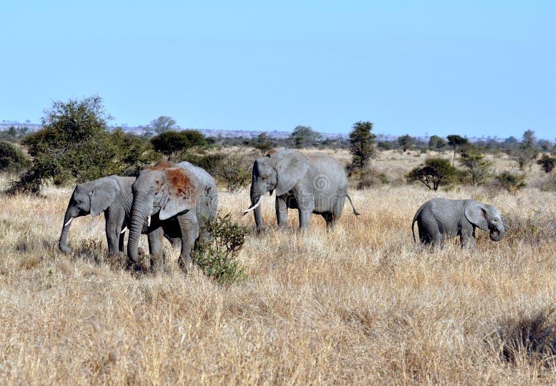 Troupeau d'éléphant africain photo libre de droits