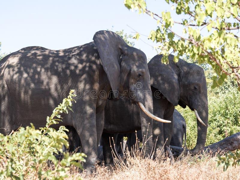 Troupeau d'éléphant africain, africana de Loxodonta, dans les buissons touffus, parc national de Chobe, Botswana photos libres de droits
