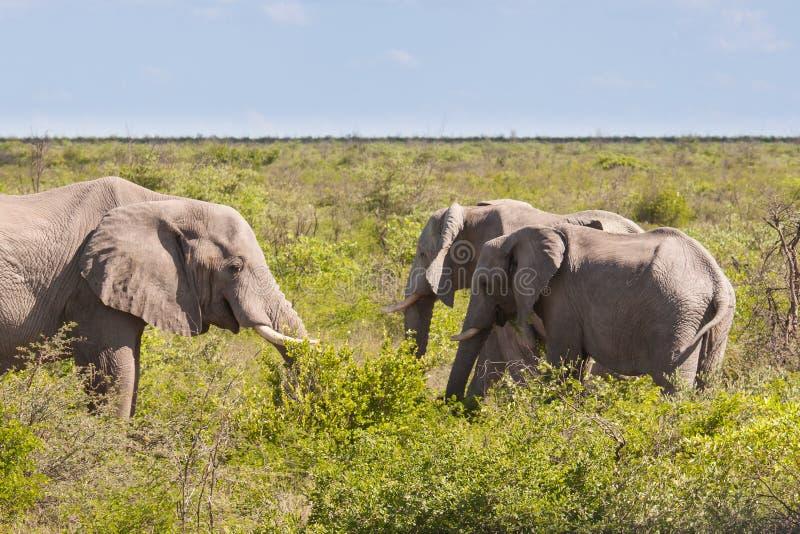 Troupeau d'éléphant africain alimentant dans la savane, Botswana image libre de droits
