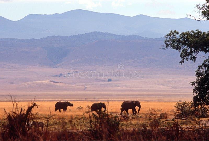 Troupeau d'éléphant, cratère de Ngorongoro, Tanzanie photos stock