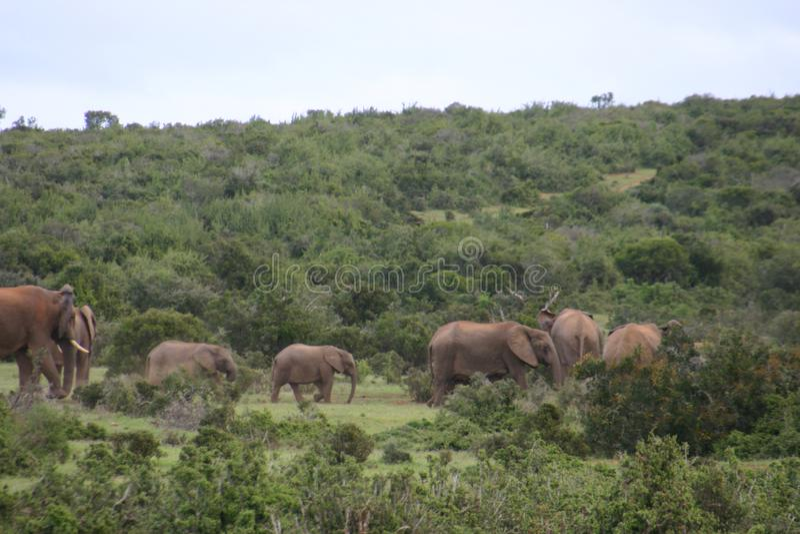 Troupeau d'éléphant dans la forêt image stock