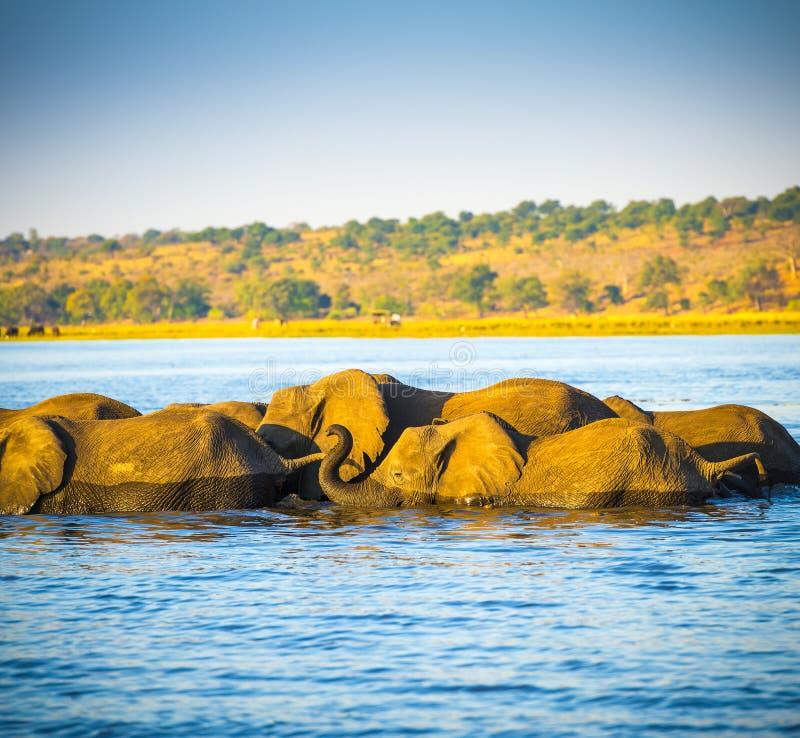 Download Troupeau D'éléphant Traversant La Rivière De Chobe Photo stock - Image du éléphant, faune: 77154600
