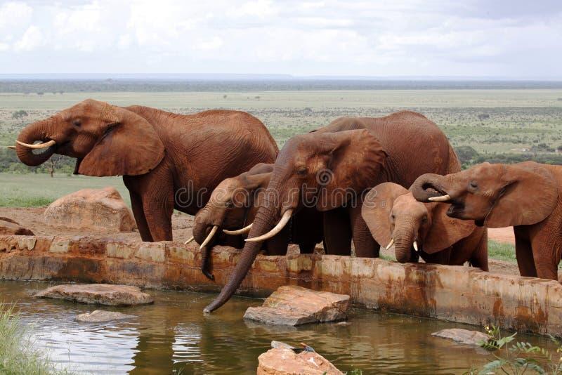 Troupeau d'éléphants image stock