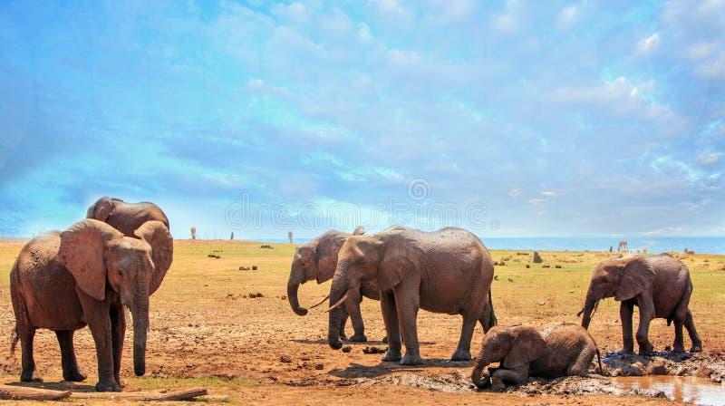 Troupeau d'éléphants ayant l'amusement, avec un petit veau se vautrant dans une piscine de boue image stock