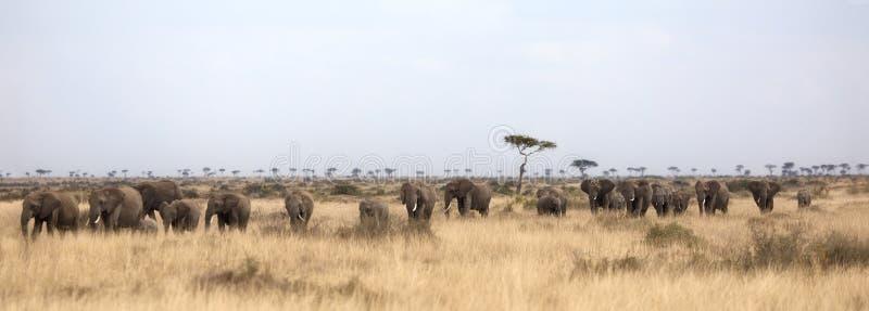 Troupeau d'éléphants dans le masai Mara images stock