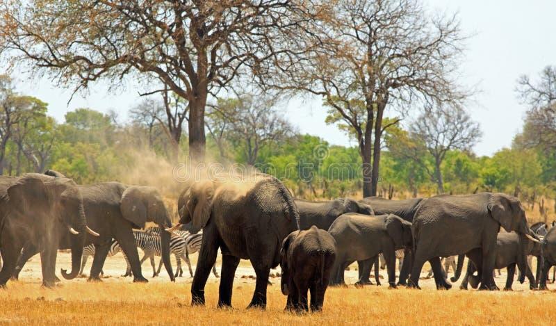 Troupeau d'éléphants et de zèbre sur les plaines africaines images stock