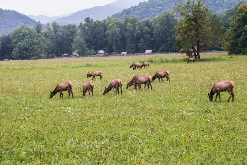 Troupeau d'élans dans Great Smoky Mountains photo libre de droits