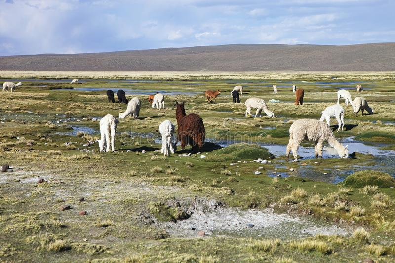 Troupeau d'altiplano de lamas au Pérou images stock