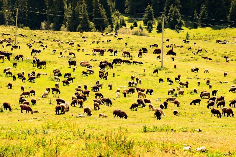 Troupeau d'animaux familiers dans les montagnes images stock