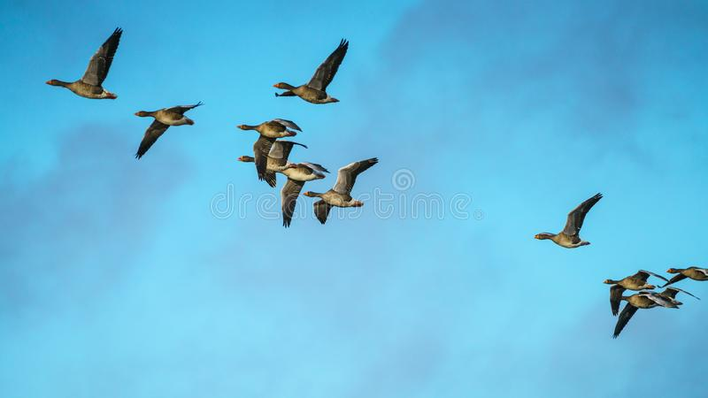 Troupeau d'Anser d'Anser d'oies cendrées en vol photographie stock libre de droits