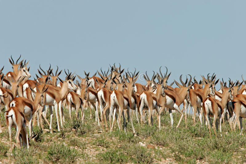 Troupeau d'antilopes de springbok photo libre de droits