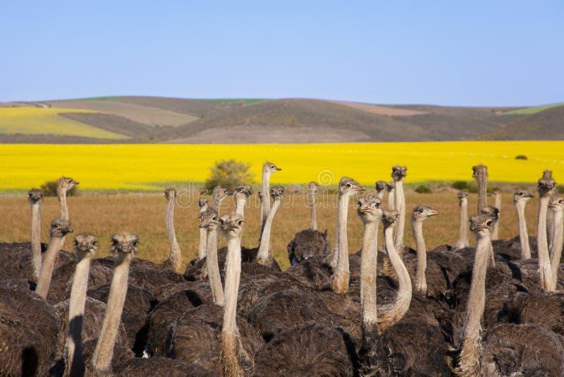 Troupeau d'autruche, Afrique du Sud images libres de droits