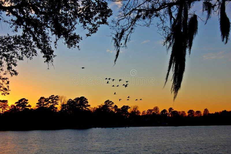 Troupeau d'IBIS blanc au coucher du soleil photographie stock