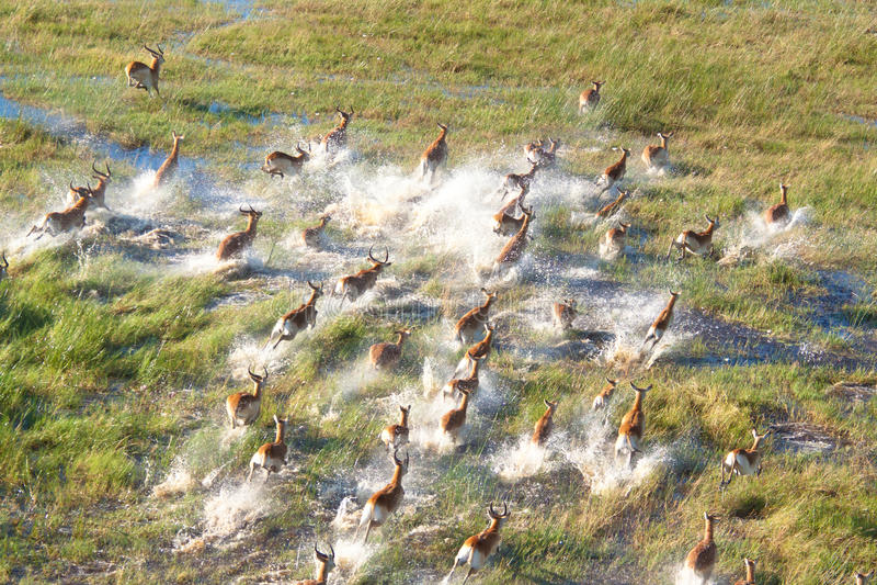 Troupeau d'impalas images stock