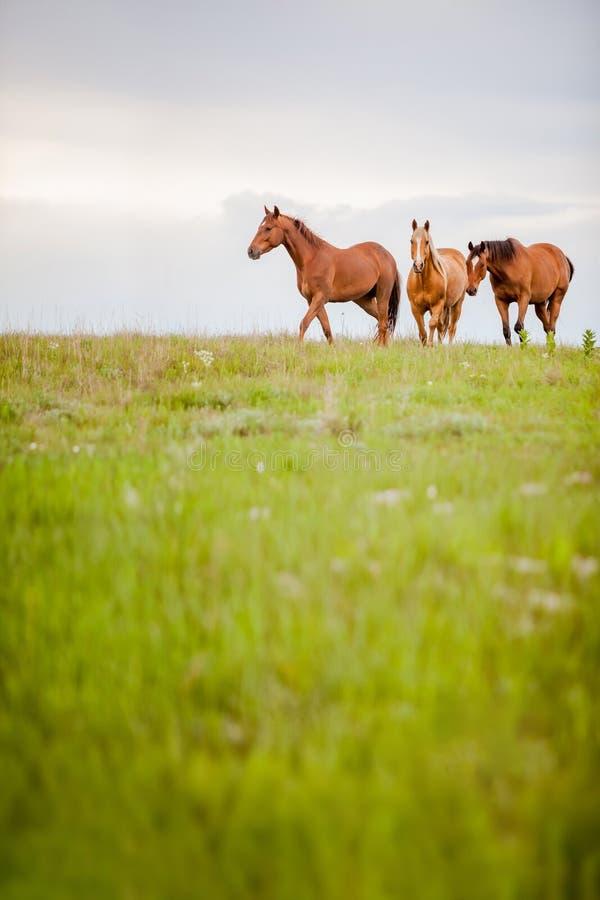 Troupeau de approche de cheval photo stock