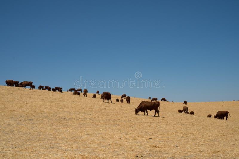 Troupeau de bétail frôlant dans le domaine avec le ciel bleu avec l'espace de copie images stock