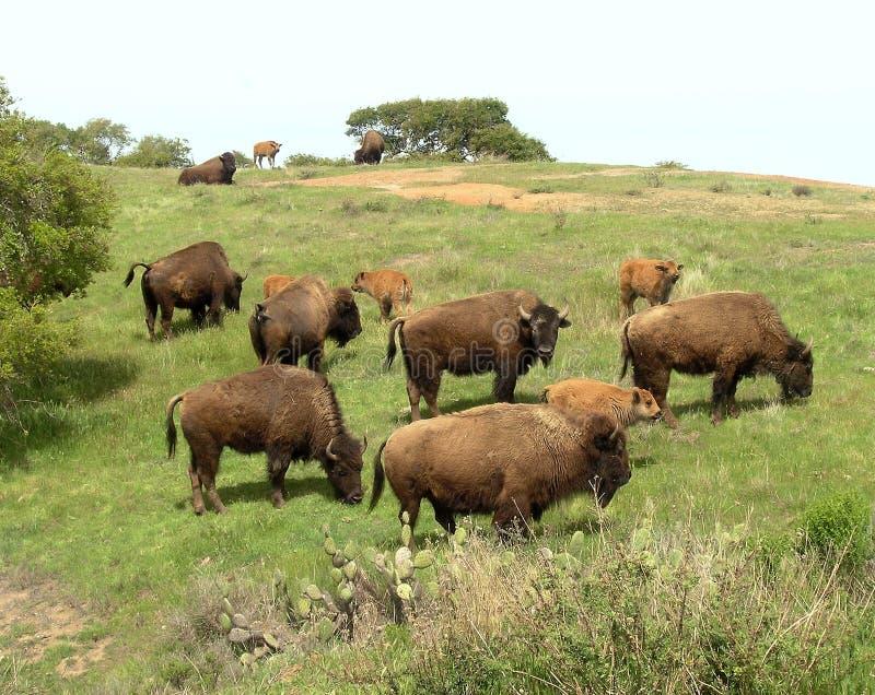 Troupeau de bison d'île de Catalina images libres de droits