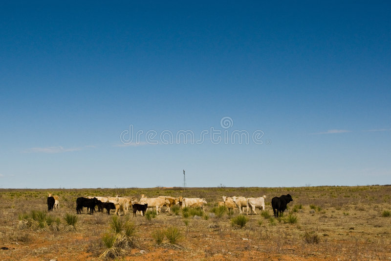Troupeau de bovins images libres de droits