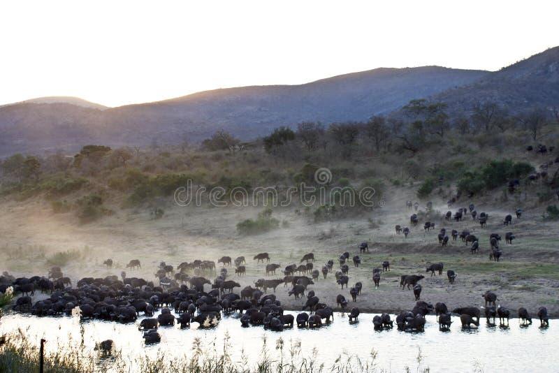 TROUPEAU DE BUFFLE AFRICAIN (BUFFLE DE CAP) image libre de droits