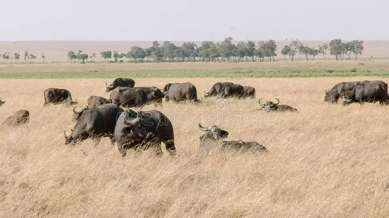 Troupeau de buffle de cap dans la réservation de jeu de Mara de masai images stock