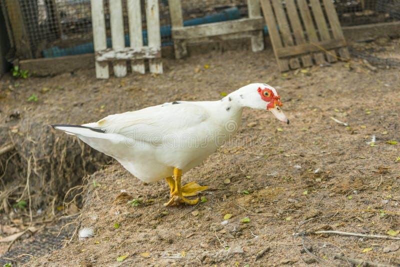 Troupeau de canard musqué photos libres de droits