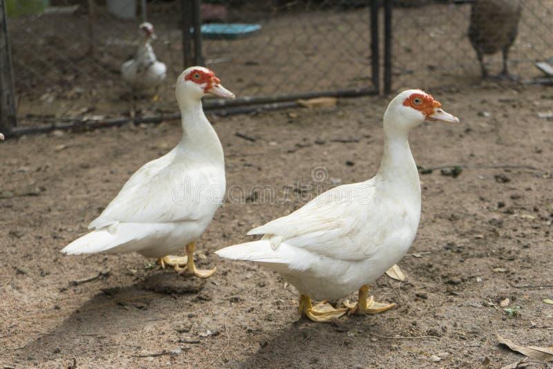 Troupeau de canard musqué images libres de droits