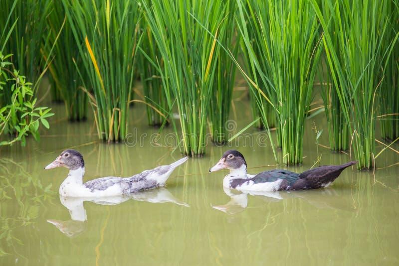 troupeau de canards en bassin sur le gisement de riz dans le pays de Thail photos libres de droits