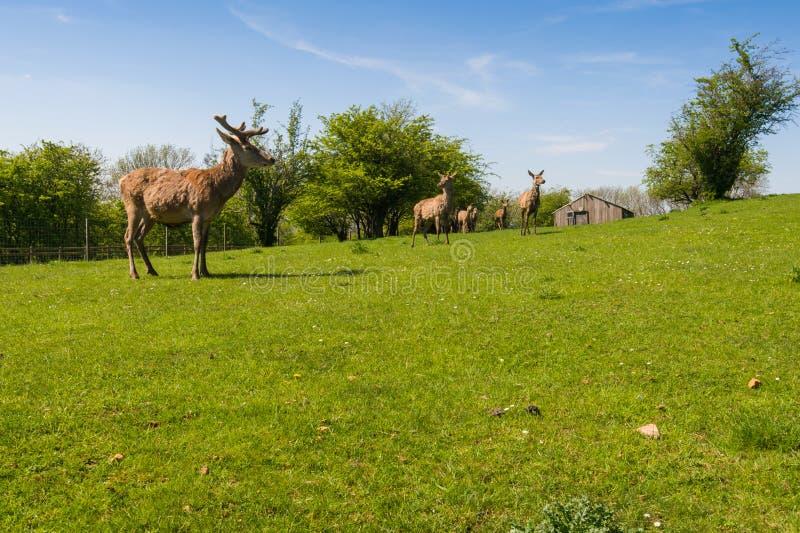Troupeau de cerfs communs affrichés photos libres de droits