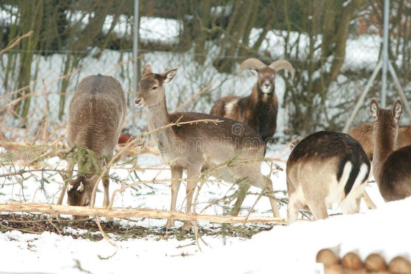 Troupeau de cerfs communs ensemble en hiver photos libres de droits