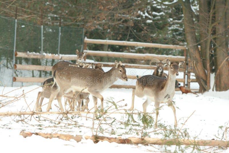 Troupeau de cerfs communs ensemble en hiver photos stock