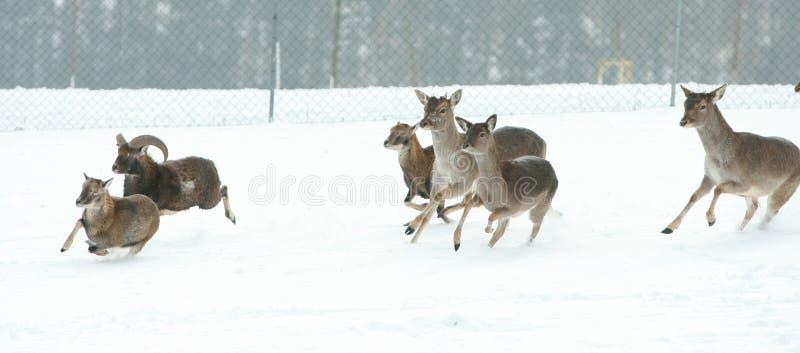 Troupeau de cerfs communs ensemble en hiver photographie stock libre de droits