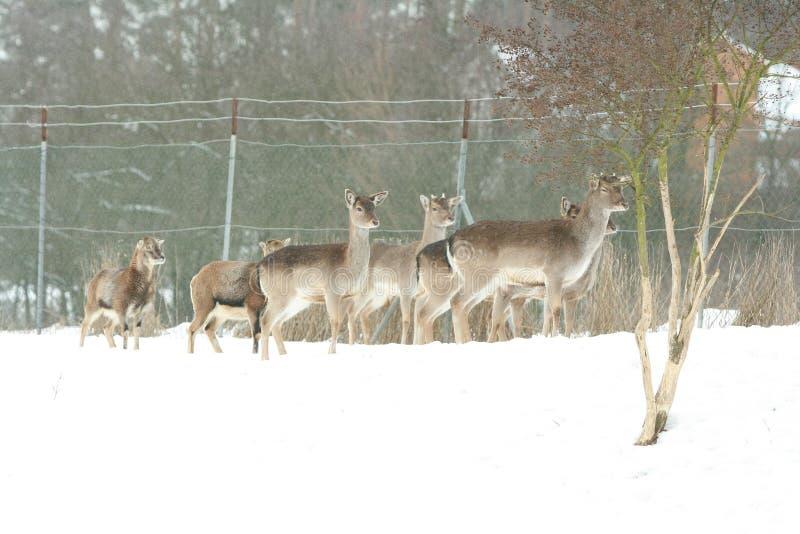 Troupeau de cerfs communs ensemble en hiver images libres de droits