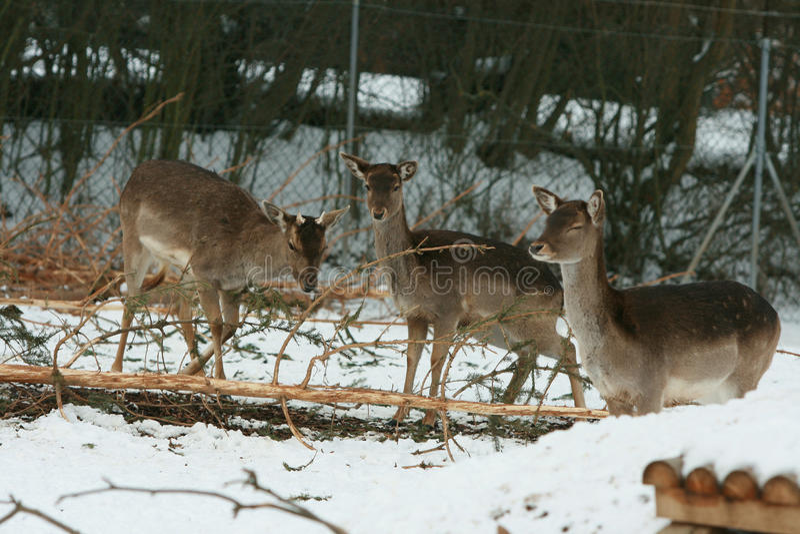 Troupeau de cerfs communs ensemble en hiver photo libre de droits