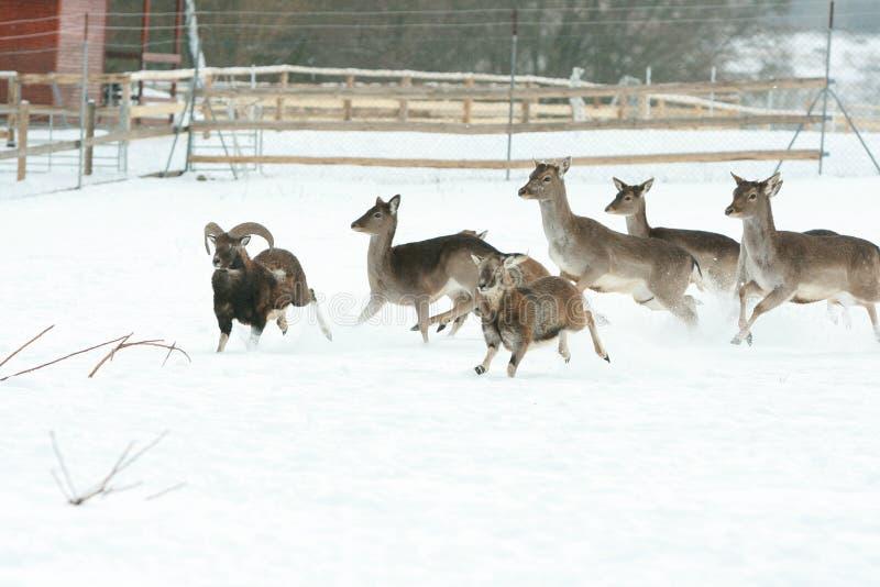 Troupeau de cerfs communs ensemble en hiver image stock