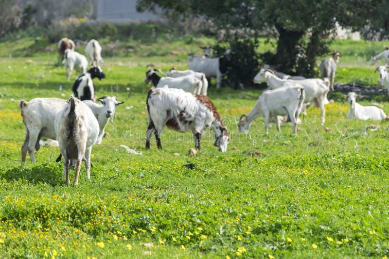Troupeau de chèvres blanches locales frôlant dans un pré vert dans les montagnes Paysage méditerranéen image stock