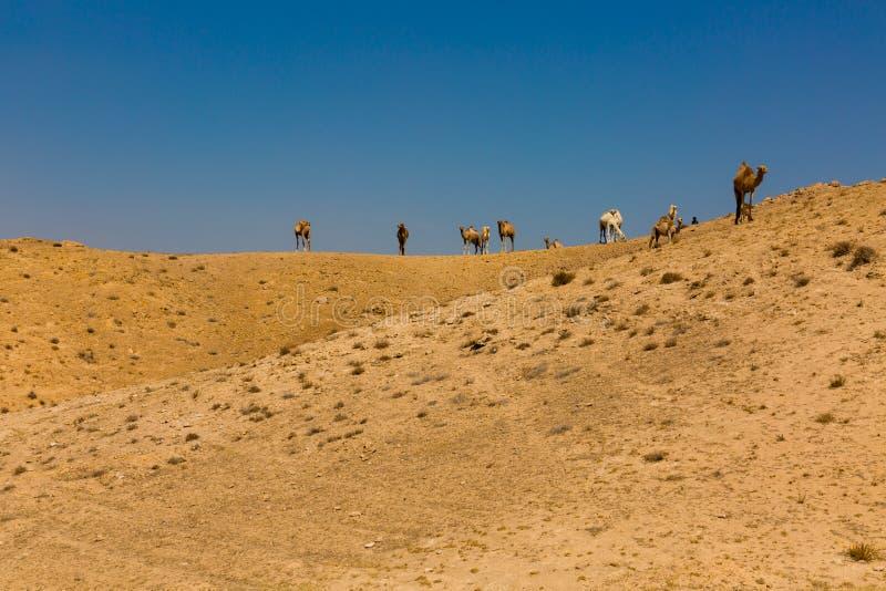 Troupeau de chameaux Dromedarys dans le negev Israël de désert images stock