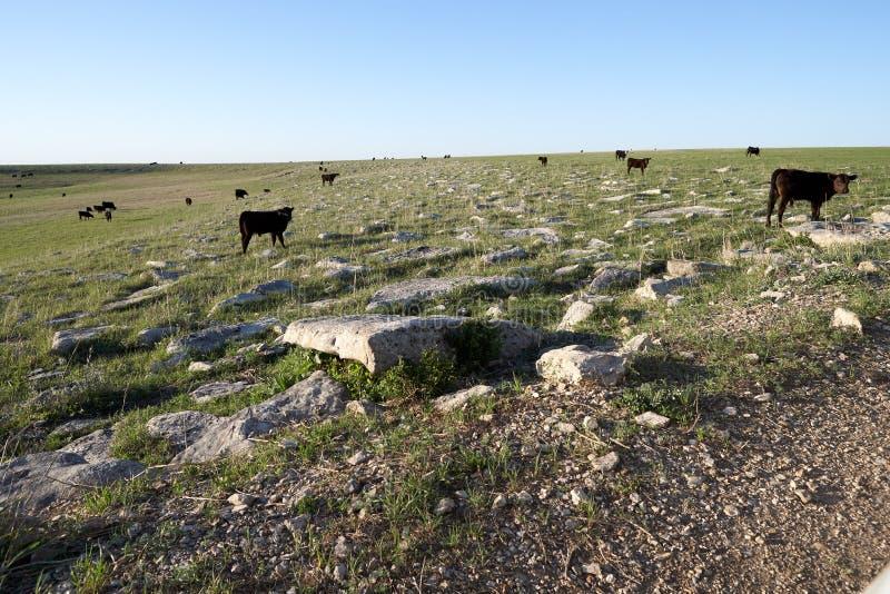 Troupeau de cheptels bovins noirs sur une gamme ouverte image libre de droits