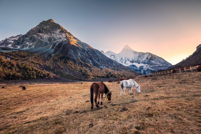 Troupeau de cheval dans le pré avec la montagne sainte de Yangmaiyong au coucher du soleil photos libres de droits