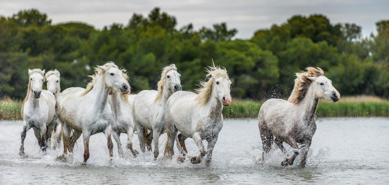 Troupeau de chevaux blancs de Camargue galopant sur l'eau image stock