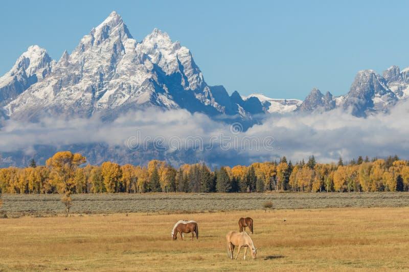 Troupeau de chevaux frôlant dans le Tetons dans la chute image libre de droits