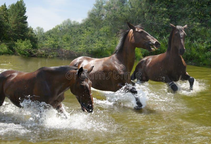 Troupeau de chevaux galopant sur l'eau images stock