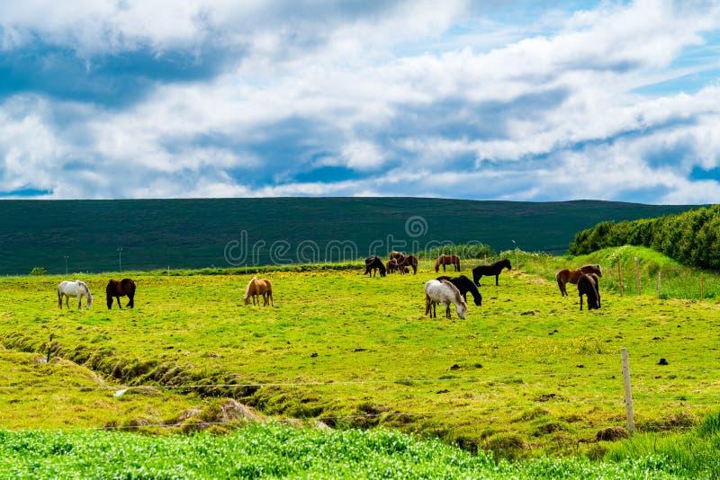 Troupeau de chevaux islandais frôlant dans le domaine images libres de droits