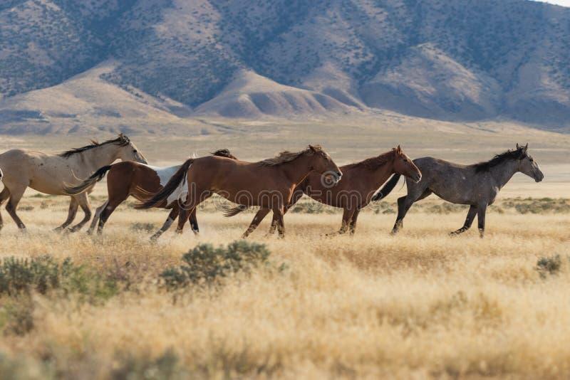 Troupeau de chevaux sauvages images libres de droits