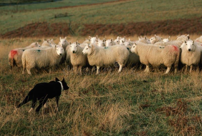 Troupeau de foule de moutons dans le temps de ferme au printemps images libres de droits