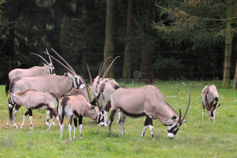 Troupeau de gemsboks image stock