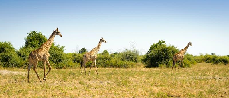 Download Troupeau De Girafes En Afrique Image stock - Image du mammifère, safari: 77158851
