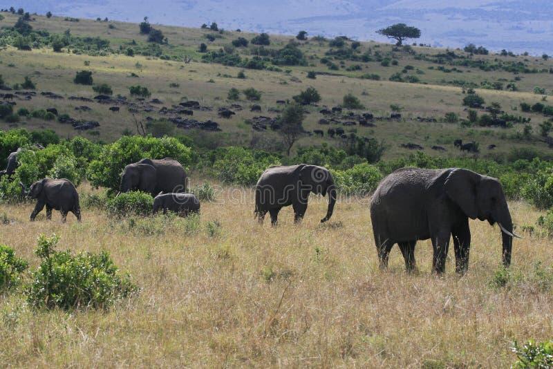 Troupeau de grand éléphant africain, africana de Loxodonta, frôlant dans la savane dans le jour ensoleillé Massai Mara Park, Keny photos libres de droits
